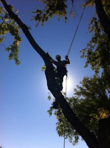 Silver maple, acer saccharinum, removal